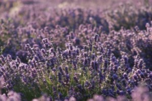 Lavender Field - Young Living