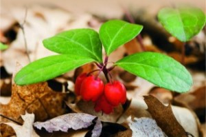 Wintergreen Berries - Young Living