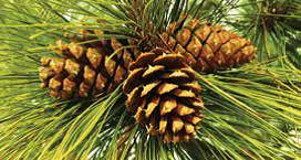 Idaho Ponderosa Pine
